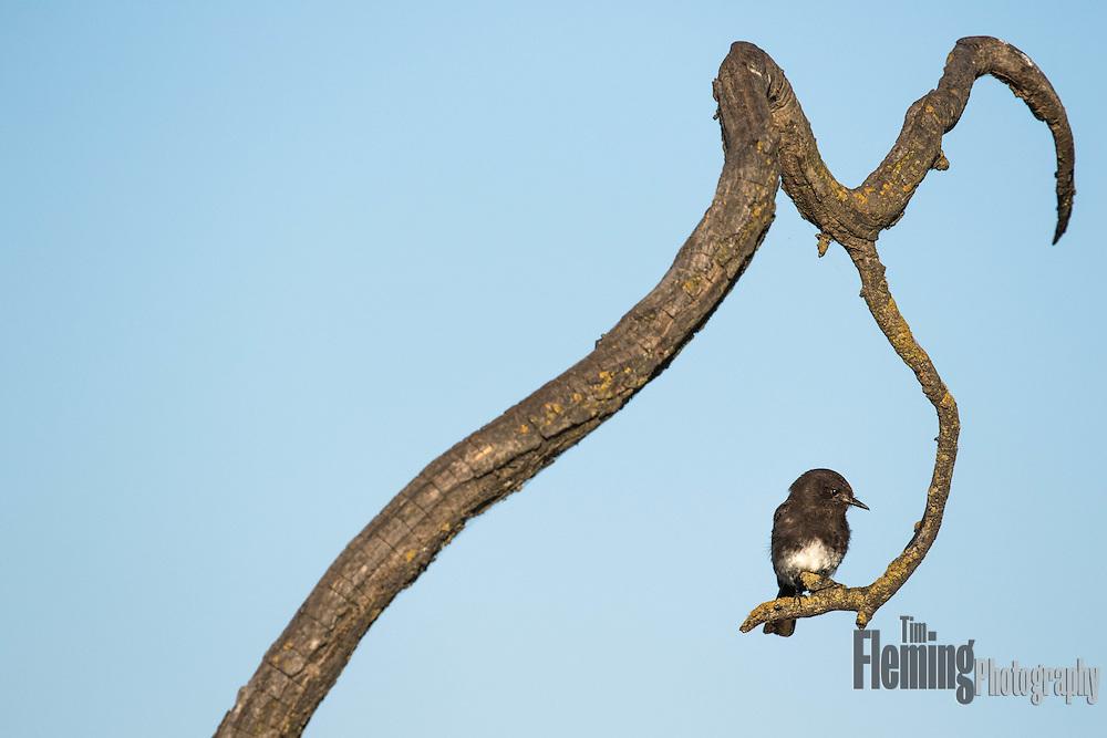 Black phoebe perching on branch, Sacramento National Wildlife Refuge, California