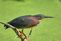 Green Heron (Butorides virescens),  Wakodahatchee Wetlands, Delray Beach, Florida, USA   Photo: Peter Llewellyn