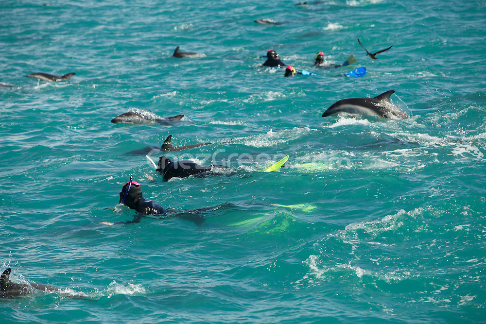 Swimming with dolphins in New-Zealang at Kaikoura