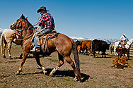 Lyle Woosley, 79 yrs, drags calf to fire, helping neighbor,  Hamm Ranch, branding, Wilsall, MT