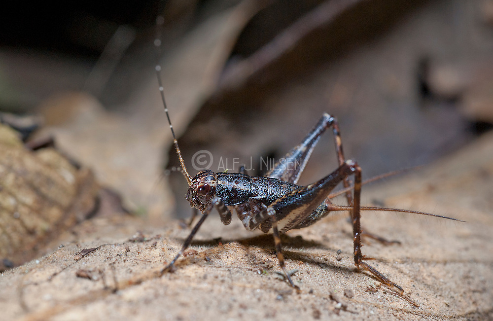 Unidentified cricket from La Selva, Ecuador.