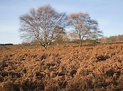 Silver birch trees and bracken in autumn colour on Westleton Heath heathland near Dunwich, Suffolk, England