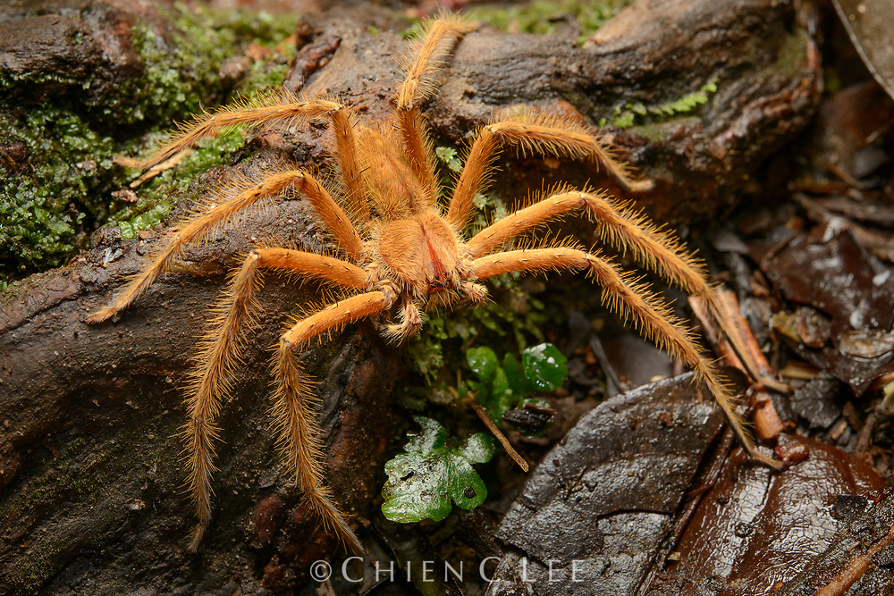 Heteropoda davidbowei, male. Named in honor of singer-songwriter David Bowie, this large huntsman spider occurs in rainforests from Thailand to Sumatra and Borneo.