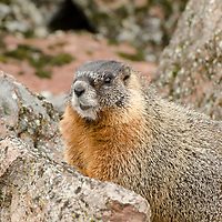 A Yellow-Bellied Marmot in Yellowstone National Park.
