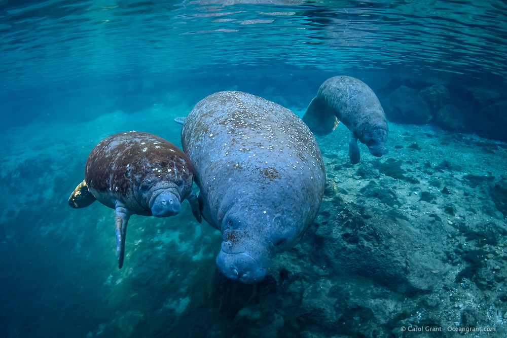 It is not uncommon for mother manatees to have a calf that is not their own hang around. Most of the time another mother has left a young one in the springs to go out to forage. Many times a lone calf will latch onto another mother and calf. Sometimes manatees are orphaned and manatee adoption has been documented. Three Sisters Springs on a clear blue water peaceful day.  Florida manatee, Trichechus manatus latirostris, a subspecies of the West Indian manatee, endangered IUCN. USFWS downlisted to Threatened in 2017. Kings Bay, Crystal River National Wildlife Refuge, Kings Bay, Crystal River, Citrus County, Florida USA.