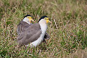 Spur-winged Plover (Masked Lapwing, northern subspecies: Vanellus miles miles)
