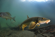 Longnose Sucker (with arctic grayling in background)<br /> <br /> Paul Vecsei/Engbretson Underwater Photography