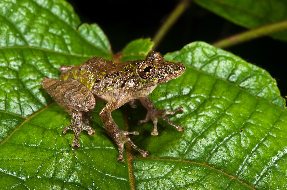 Eirunepe's Snouted Frog (Scinax garbei)<br /> Yasuni National Park, Amazon Rainforest<br /> ECUADOR. South America<br /> HABITAT & RANGE: Near permanent water in lowland tropical and subtropical forests of Bolivia, Brazil, Colombia, Ecuador, Peru, Venezuela, and possibly Guyana.