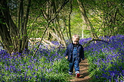 A young boy walks along a woodland path through a spectacular display of bluebells.