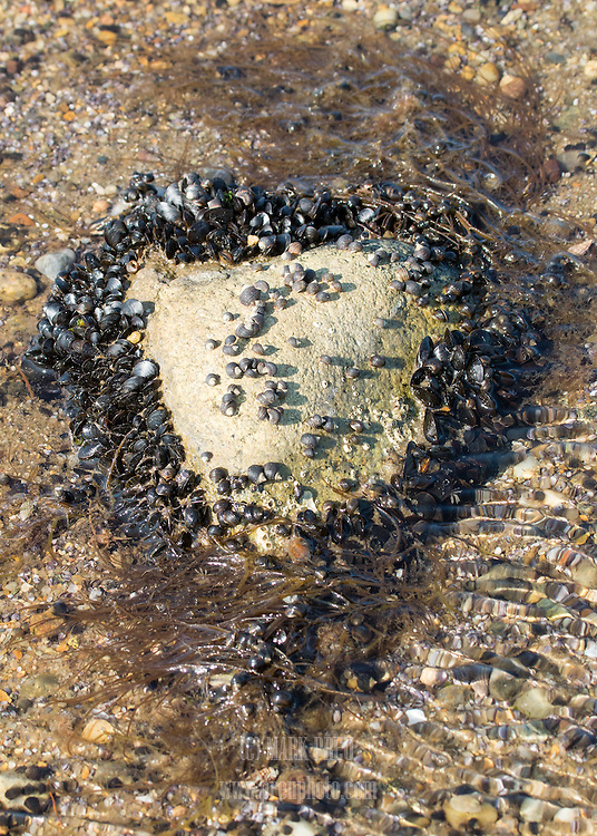 Mussels, periwinkles, and barnacles all attached to a heart shaped rock in Cape Cod Bay.