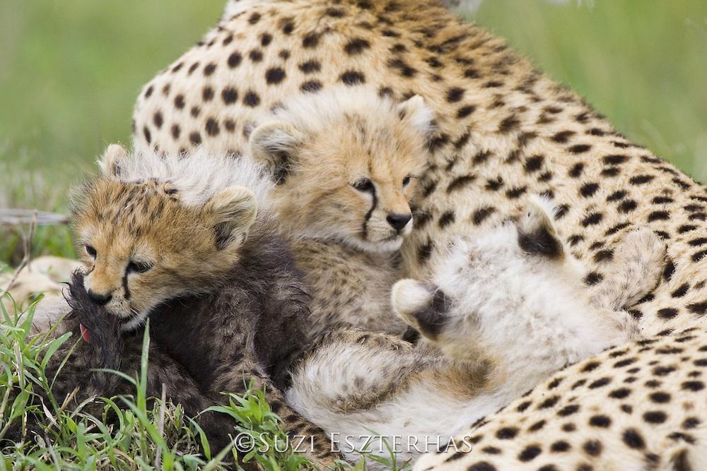 Cheetah<br /> Acinonyx jubatus<br /> Maasai Mara Reserve, Kenya