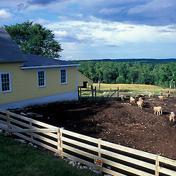 New Gloucester, ME.Sheep head out to pasture at the Sabbathday Lake Shaker Village.