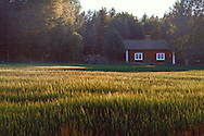 House in a rye field, Värmland, Sweden.