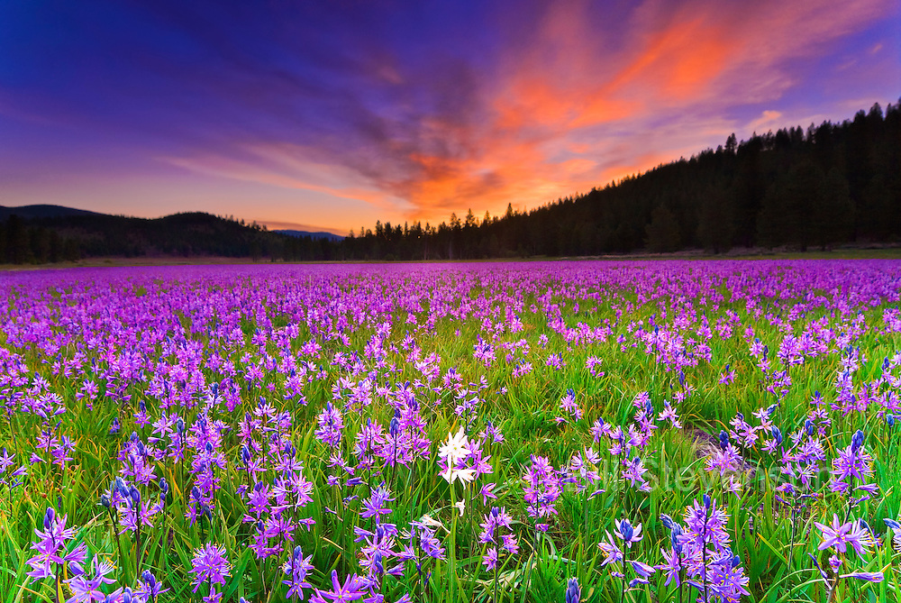 A photo of a single albino Camas Lily in a sea of purple lilys
