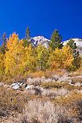 Fall aspens along Convict Creek, Sierra National Forest, Sierra Nevada Mountains, California