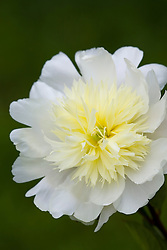 Paeonia lactiflora 'Charles' White'  syn. P.l. 'Charlie White'