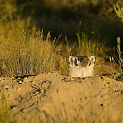 Deer Flat National Wildlife Refuge. Badger, Taxidea taxus, at its burrow at sunset