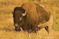 Bison bull in late light in the National Bison Range in Montana