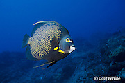 French angelfish, Pomacanthus paru, Stetson Bank, Flower Garden Banks National Marine Sanctuary, off the coast of Texas, USA ( Gulf of Mexico )