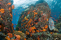 Swarms of schooling Anthias and Hard/Soft corals...Shot in Indonesia