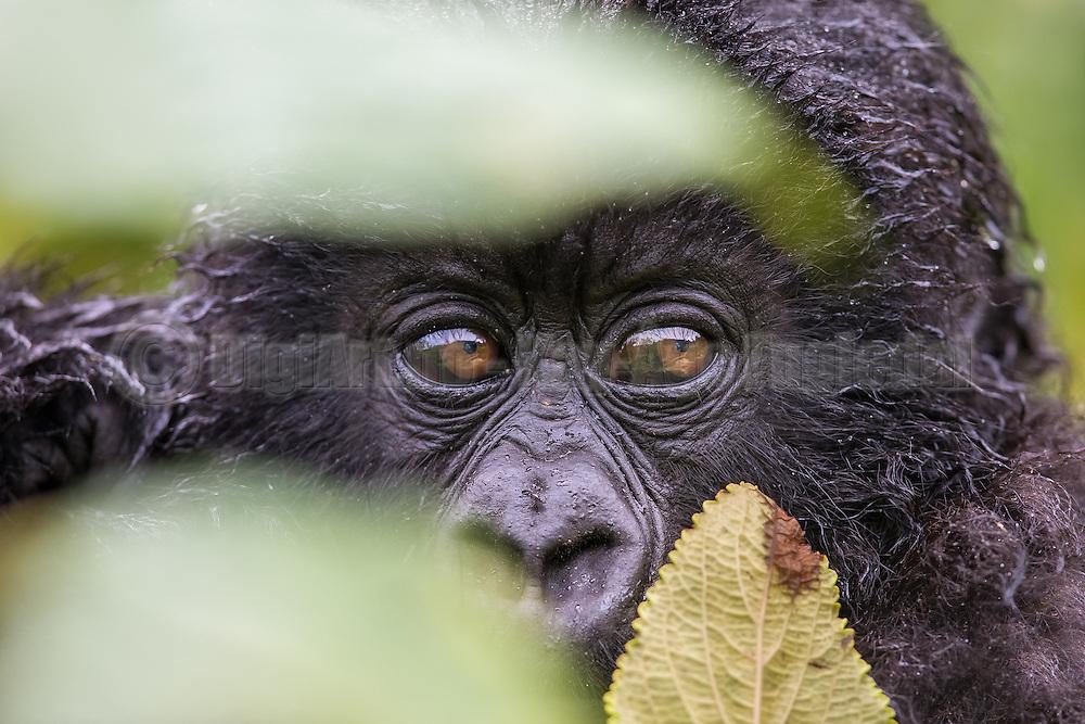 Gorilla baby bahing green leafs. Rwanda-Volcano National Park. Wildlife   Gorillababy som titter fram mellom noen grønne blad. Volcano National Park, Rwanda. Ville dyr.
