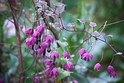 Rhodochiton atrosanguineus 'Purple Bells' growing up a birch tripod. Purple bell vine