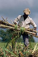 France - Département d'Outre mer de la Guadeloupe (DOM) - Grande Terre - Coupe de la canne à sucre // France. Guadeloupe. Grande terre. Sugar cane harvest.