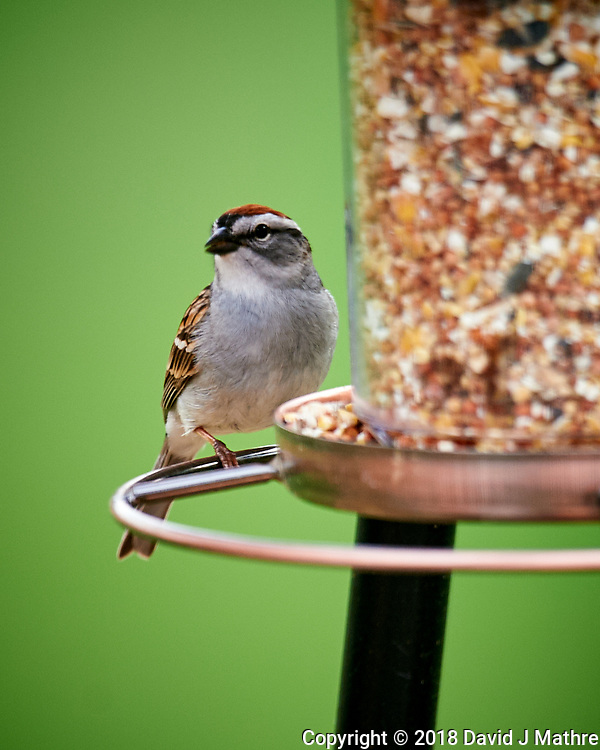 Chipping Sparrow at the Bird Feeder. Image taken with a Nikon D4 camera and 600 mm f/4 VR telephoto lens.