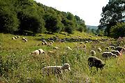 Naturpark Pfälzerwald..Tal mit Schafherde