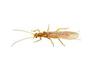 Stonefly (Isoperla mormona)<br /> OREGON: Crook Co.<br /> Prineview off Hwy 27<br /> 18-21.June.2012 44.291449, -120.843859<br /> J.C. Abbott #2607 &amp; K.K. Abbott