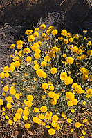 Desert Marigolds (Baileya multiradiata) at Big Bend National Park, Texas