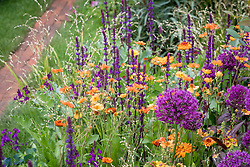 Geum 'Totally Tangerine' with Allium 'Purple Sensation', Calendula 'Indian Prince', Melica altissima 'Alba' and Salvia nemorosa 'Caradonna'