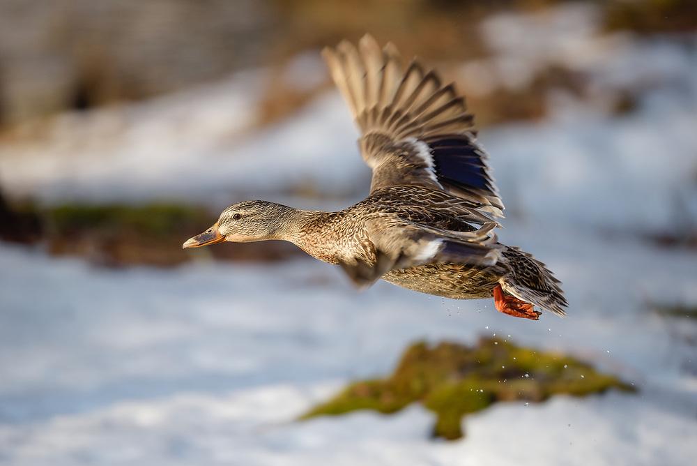 Mallard female in flight