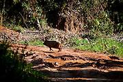 Conceicao do Castelo_ES, Brasil...Porco em trecho da Rota Imperial...A pig on the Imperial Route...Foto: LEO DRUMOND / NITRO