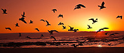 birds in flight at sunset, Oregon coast.