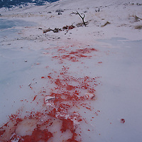 Bull elk killed by wolves along the Gallatin River, Montana.