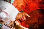 16 JUNE 2012 - GILA RIVER INDIAN COMMUNITY, PHOENIX, AZ: A freshly slaughtered sheep bleeds out in the killing room on Ibrahim Swara-Dahab's goat farm. Swara-Dahab, 57, left Somalia in 1993. He lived in a refugee camp in Kenya for five years before coming to the United States and settled in the Phoenix area in 2006. He got a $10,000 loan from the micro-enterprise development program for refugees. The money allowed him to buy dozens of goats and sheep, each worth $130 to $200, turning his one-sheep operation into a money-making, time-consuming herd. He now operates a full time goat ranch and slaughter house. He slaughters his goats and sheep in the Muslim halal tradition. Most of his customers are fellow refugees and Muslims who prize goat meat or eat only meat slaughtered according to halal traditions. His butchering operation is on the Gila River Indian Community, near Laveen, AZ, just southwest of Phoenix.    PHOTO BY JACK KURTZ