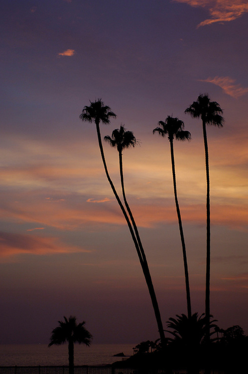 Palm Tree, Laguna Beach, California, United States of America