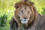 Male lion   (Panthera leo) in Maasai Mara National Park, Kenya, Africa <br /> male is named Chongo