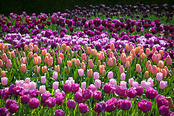 The tulip trial at Parham House and Gardens. Front to back Tulipa 'Pink Diamond', 'Pink Clearwater', 'Menton', 'Blue Wow', 'Violet Beauty', 'Purple Peony', 'Caravelle', 'Greuze', 'Black Hero', 'Queen of Night'