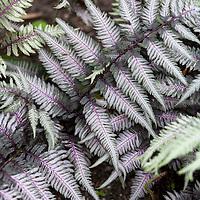Japanese Painted Fern (Athyrium niponicum 'pictum').