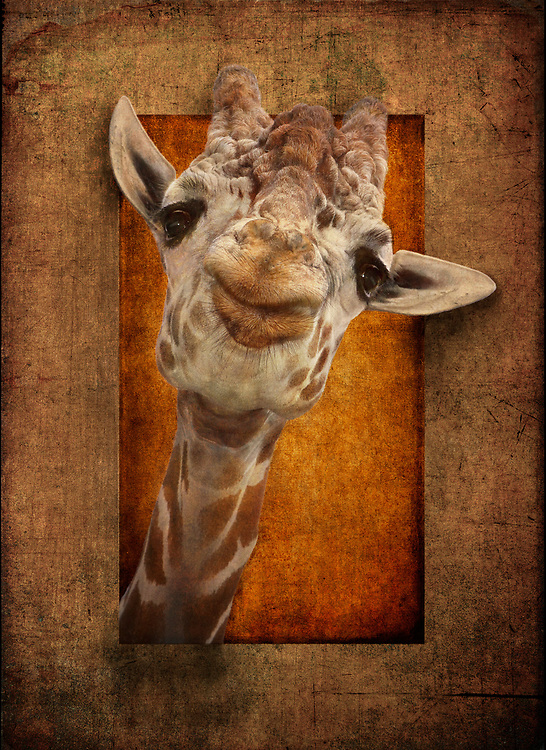 Portrait of a Friendly Giraffe