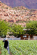 "June 16, 2008 -- COLORADO CITY, AZ: A member of the Jessop family talks on her cell phone while she weeds the community corn plot in Colorado City, AZ. The Jessops are a polygamous family and members of the FLDS. Colorado City and neighboring town of Hildale, UT, are home to the Fundamentalist Church of Jesus Christ of Latter Day Saints (FLDS) which split from the mainstream Church of Jesus Christ of Latter Day Saints (Mormons) after the Mormons banned plural marriage (polygamy) in 1890 so that Utah could gain statehood into the United States. The FLDS Prophet (leader), Warren Jeffs, has been convicted in Utah of ""rape as an accomplice"" for arranging the marriage of teenage girl to her cousin and is currently on trial for similar, those less serious, charges in Arizona. After Texas child protection authorities raided the Yearning for Zion Ranch, (the FLDS compound in Eldorado, TX) many members of the FLDS community in Colorado City/Hildale fear either Arizona or Utah authorities could raid their homes in the same way. Older members of the community still remember the Short Creek Raid of 1953 when Arizona authorities using National Guard troops, raided the community, arresting the men and placing women and children in ""protective"" custody. After two years in foster care, the women and children returned to their homes. After the raid, the FLDS Church eliminated any connection to the ""Short Creek raid"" by renaming their town Colorado City in Arizona and Hildale in Utah.   Photo by Jack Kurtz"