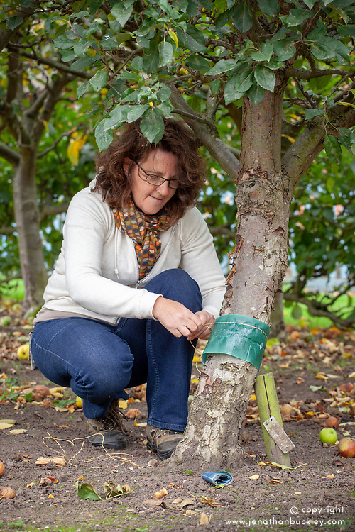 Putting a grease band on an apple tree to trap winter moths