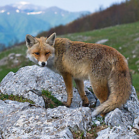 Red fox, Vulpes vulpes, Pollino National park, Italy