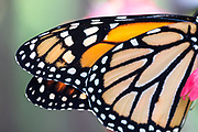 Monarch wings up close