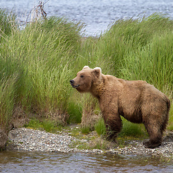 An Alaska brown bear pauses while fishing.