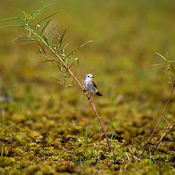 """""""Freirinha (Arundinicola leucocephala) fotografado em Linhares, Espírito Santo -  Sudeste do Brasil. Bioma Mata Atlântica. Registro feito em 2014.<br /> <br /> <br /> <br /> ENGLISH: White-headed Marsh Tyrant photographed in Linhares, Espírito Santo - Southeast of Brazil. Atlantic Forest Biome. Picture made in 2014."""""""