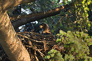 A young bald eagle (Haliaeetus leucocephalus), approximately four weeks old, looks out from its nest in Heritage Park, Kirkland, Washington.