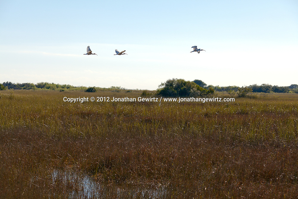 A group of American White Ibises (Eudocimus albus) in flight in the Shark Valley section of Everglades National Park, Florida. WATERMARKS WILL NOT APPEAR ON PRINTS OR LICENSED IMAGES.